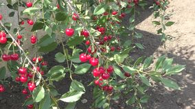 Cerejas maduras no jardim video estoque