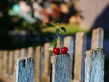 Cerejas maduras vermelhas foto de stock