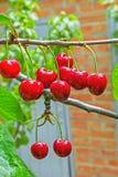 Cerejas maduras vermelhas em um ramo, close-up das bagas Fotos de Stock