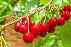 Cerejas maduras vermelhas em um ramo, macro das bagas Foto de Stock Royalty Free