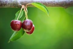 Cerejas maduras vermelhas que penduram da árvore fotos de stock