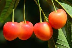 Cerejas na árvore imagens de stock