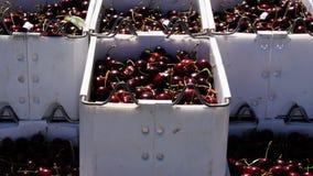 Cerejas nos escaninhos vídeos de arquivo