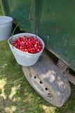Cerejas orgânicas escolhidas mão Imagem de Stock Royalty Free