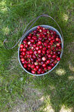 Cerejas orgânicas escolhidas mão Foto de Stock Royalty Free