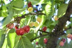 Cerejas que amadurecem na árvore Imagens de Stock Royalty Free