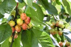 Cerejas que amadurecem na árvore Imagem de Stock Royalty Free