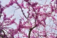 Cerejas que florescem em toda parte imagem de stock royalty free