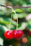 Cerejas que penduram em um ramo de árvore imagem de stock royalty free