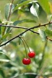 Cerejas que penduram em um ramo de árvore da cereja Imagens de Stock Royalty Free