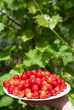 Cerejas saborosos Fotografia de Stock
