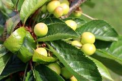 Cerejas verdes que amadurecem em The Sun imagens de stock
