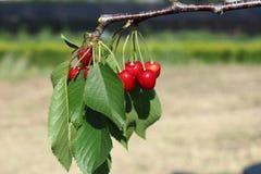 Cerejas vermelhas Fotos de Stock Royalty Free