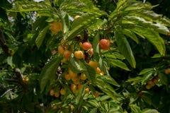 Cerejas vermelhas amarelas novas no ramo Fotografia de Stock
