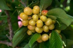 Cerejas vermelhas amarelas novas no ramo Fotos de Stock