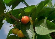 Cerejas vermelhas amarelas novas no ramo Imagem de Stock Royalty Free