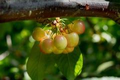 Cerejas vermelhas amarelas novas no ramo Fotografia de Stock Royalty Free