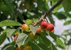 Cerejas vermelhas amarelas novas no ramo Imagem de Stock