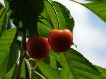Cerejas vermelhas bonitas com as folhas no fundo imagens de stock royalty free