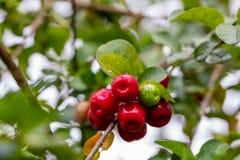Cerejas vermelhas deliciosas na árvore após a chuva com gotas nos frutos e no fundo borrado imagem de stock