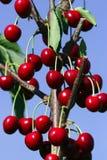 Cerejas vermelhas maduras Fotografia de Stock Royalty Free