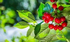 Cerejas vermelhas maduras suculentas em um ramo Fundo do verão em um pomar de cereja Fotografia de Stock
