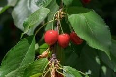 Cerejas vermelhas novas no ramo Imagens de Stock