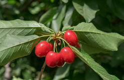 Cerejas vermelhas novas no ramo Imagem de Stock Royalty Free