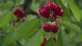 cerejeira italiana vídeos de arquivo