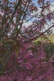 Cerejeiras Fotos de Stock Royalty Free