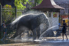 A ceremonial elephant being washed by a group of mahouts in the Temple of the Sacred Tooth Relic complex in Kandy, Sri Lanka. Stock Images