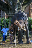 A ceremonial elephant being washed by a group of mahouts in the Temple of the Sacred Tooth Relic complex in Kandy, Sri Lanka. Stock Photography