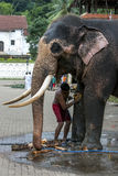 A ceremonial elephant is scrubbed clean by its mahout in Kandy in Sri Lanka. Stock Photos
