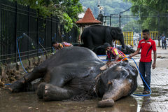 A ceremonial elephant is scrubbed clean by its mahouts in Kandy, Sri Lanka. Royalty Free Stock Photography