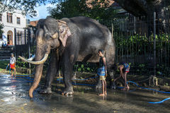 A ceremonial elephant is washed by a group of mahouts within the Temple of the Sacred Tooth Relic complex in Kandy in Sri Lanka. Royalty Free Stock Photography