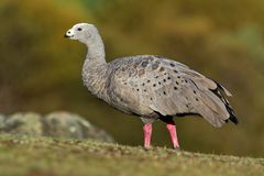Cereopsis novaehollandiae - Cape Barren Goose in Tasmania, endemic. Species Royalty Free Stock Images