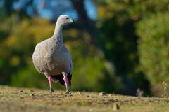 Cereopsis novaehollandiae - Cape Barren Goose in Tasmania, endemic. Species Royalty Free Stock Photo