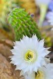 cereus кактуса Стоковое Изображение RF