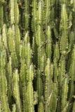 Cereus Стоковые Фотографии RF