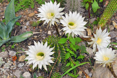 Cereus cactus. Plant in garden in summer time Royalty Free Stock Photography