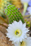 Cereus cactus. Flower details in garden in summer time Royalty Free Stock Image