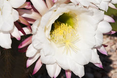 Cereus cactus blossoms. Nightblooming cereus cactus blossoms blooming in the spring Royalty Free Stock Photography