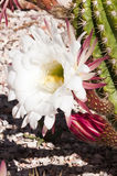 Cereus cactus blossoms Royalty Free Stock Image