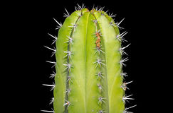 Cereus cactus Royalty Free Stock Image