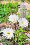 Cereus cactus flower. Details in garden in summer time Royalty Free Stock Photo