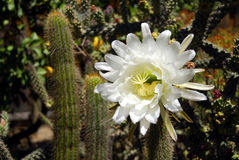 Cereus Cactus Flower Royalty Free Stock Images