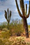 Cereus giganteus Saguaro Royalty Free Stock Photos