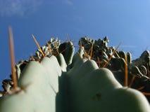 Cereus Peruvianus Zdjęcia Royalty Free