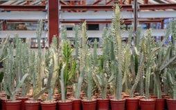 Cereus Peruvianus  cactus. A hobby plants,Cereus Peruvianus is one of the largest in the cactus family Cactaceae Royalty Free Stock Photo