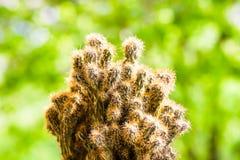 Cereus peruvianus Monstrosus Royalty-vrije Stock Afbeeldingen